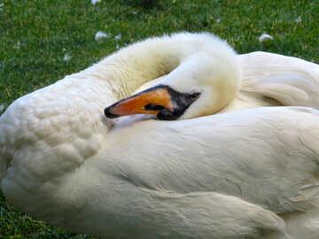 swan bird lying on the grass  №54211