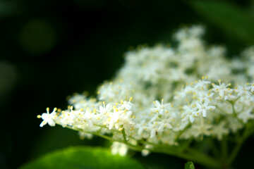 small white flowers №54420
