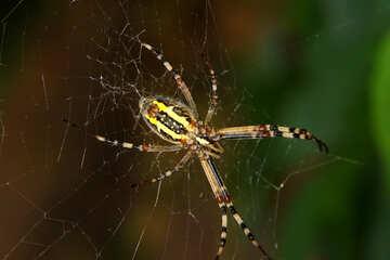 big striped spider №54141