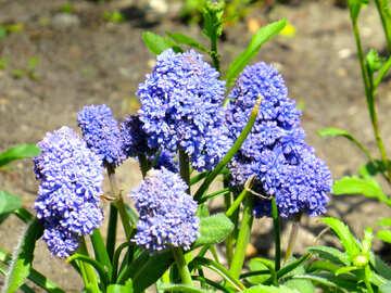 purple flower Blue plants №54156