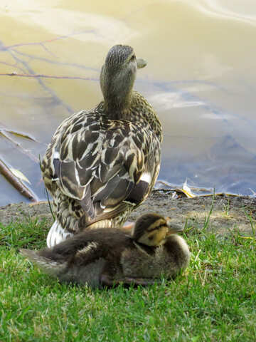 mother and baby duck by water two ducks ducklings №54279