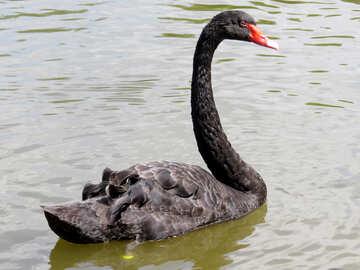 black swan №54339