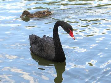 Black Swan №54375