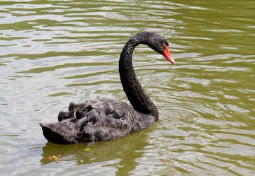 Un cigno nero sulle acque di un fiume №54341