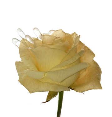 White winter rose flower ice №54886