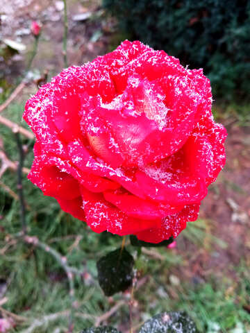 Rose flower covered with snowflakes №54876