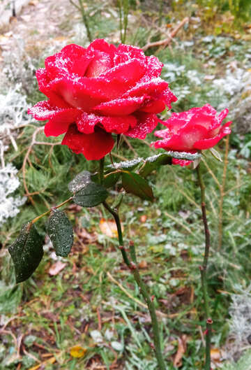 Flower rose with dusting of light snow №54877
