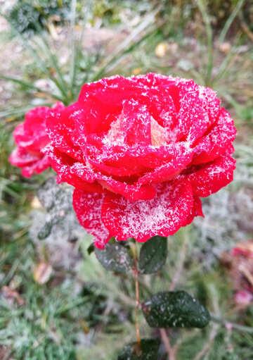 Snow rose winter flower №54875