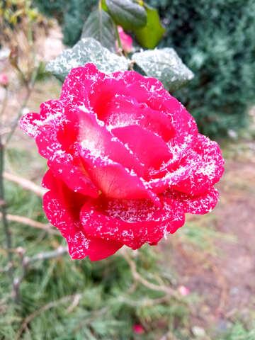 winter rose flower background №54878