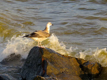 Seagull standing on a rock by the sea bird №54429