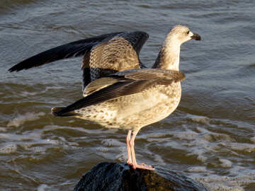 bird on rock by water seagull №54447