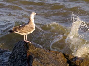 Птица чайка стоит на каменистой воде №54423