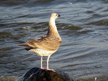 Wild bird seagull sea water Nice №54435