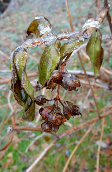 Leaves in ice №54884