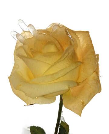 Rose in ice №54887