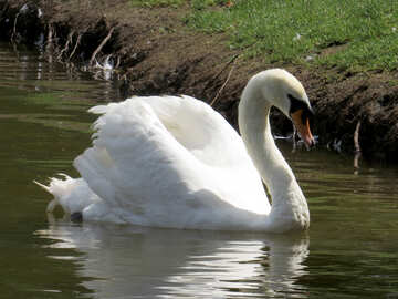 Swan a swimming №54354