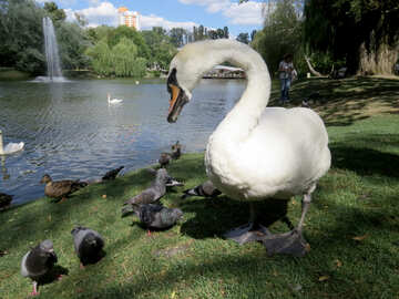 A swan and baby swans №54374