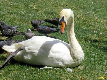 Мать-лебедь с маленькими лебедями. №54323