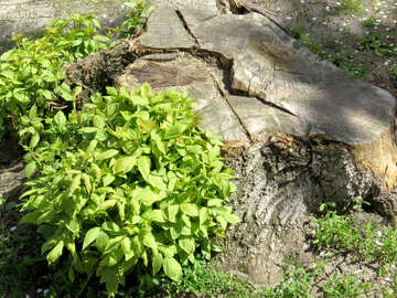 green leaves on a tree stump trunk bush №54157