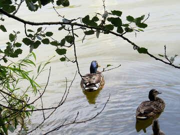 Two ducks №54249