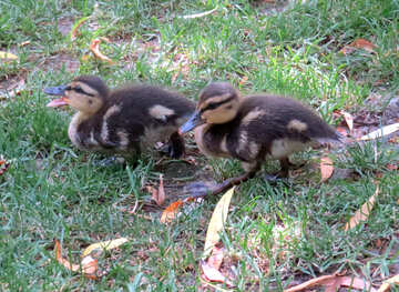 two Ducks ducklings №54310