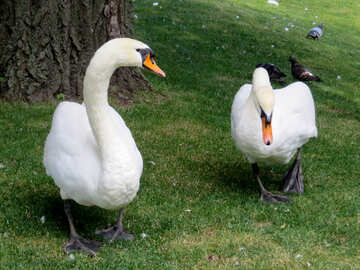 Two swans №54225