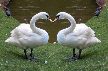 Kissing swans love Heart №54299