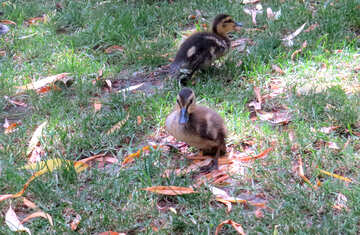 there is 2 little ducklings №54313