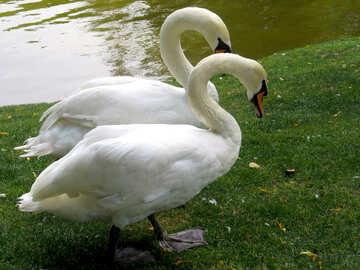 Bird swan near of water №54229