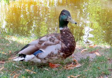 duck with green head №54308