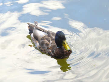 Duck in water Swimming №54295