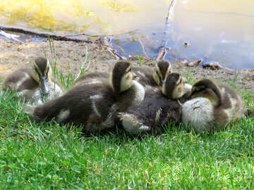 ducklings being cute on a warm summer day №54280