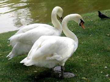 happy couple of swans №54230