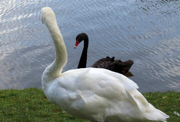 a swan and a black swan looking at each other №54285