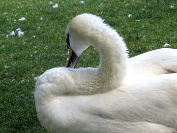 swan on green grass №54212