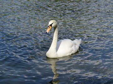 Swan on a lake swimming №54371