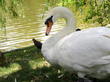 a swan near a lake №54305
