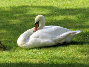 swan sitting on grass №54276