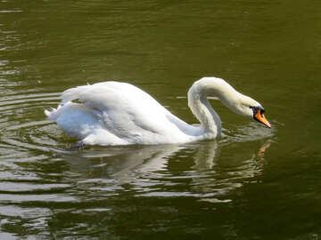 Swan swimming in lake №54232
