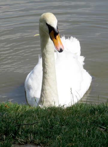 Swan swimming white №54358