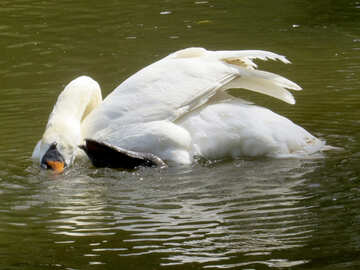 Un pájaro cisne nadando №54365