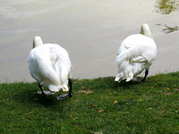 two swans from behind №54231