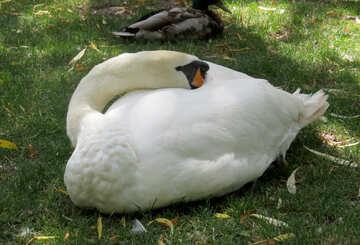 A white swan sleeping №54317