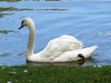 white swan swimmin №54221