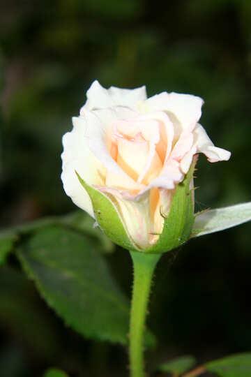 Fiore rosa bianco №54144