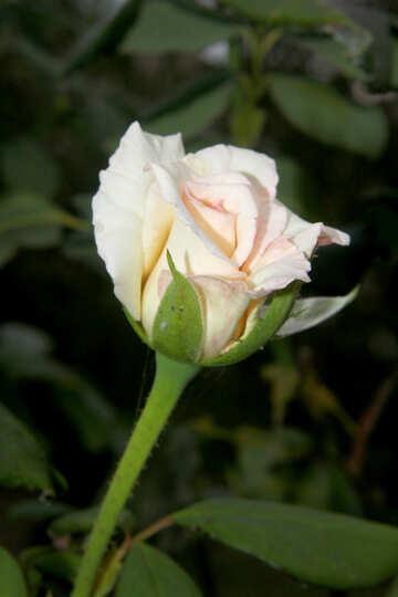 Fiore rosa bianco №54145