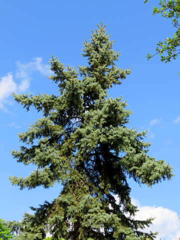 A large tree forest branch woody plant pine family №54155