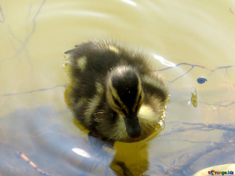 duck in water №54262