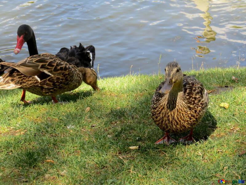 Ducks and swan near a pond. №54370