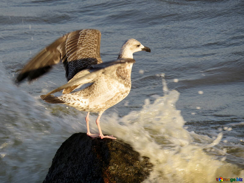 A bird standing on a rock while a wave crashes against the rock. №54445